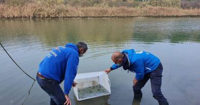 Centinaia di storioni e anguille liberati nei fiumi di Ravenna